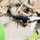 Red velvet ant (male)