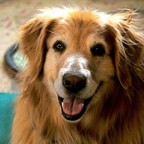 Toby! by Sandra Updyke - Animals - Dogs Portraits ( toby, goldens, happy dog, dog, golden retriever,  )