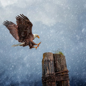 Snow Eagle by Brian Adamson - Animals Birds ( bird, bird of prey, eagle, alaska, snow, feathers )