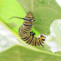 Monarch Butterfly (Larvae)/ lepe o Hina