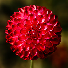Dalhia n00038 by Gérard CHATENET - Flowers Single Flower