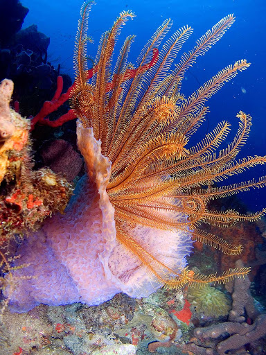 "Crinoid feather stars have been described as ""flowers of the coral seas."""
