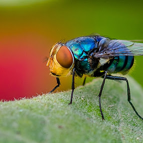 Blue bottle by Sanjeev Goyal - Animals Insects & Spiders ( nikon, fly, blue bottle, insect, animal,  )