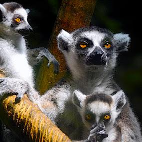 Golden Gaze by Francisco Little - Animals Other Mammals ( gold, lemur, cute,  )