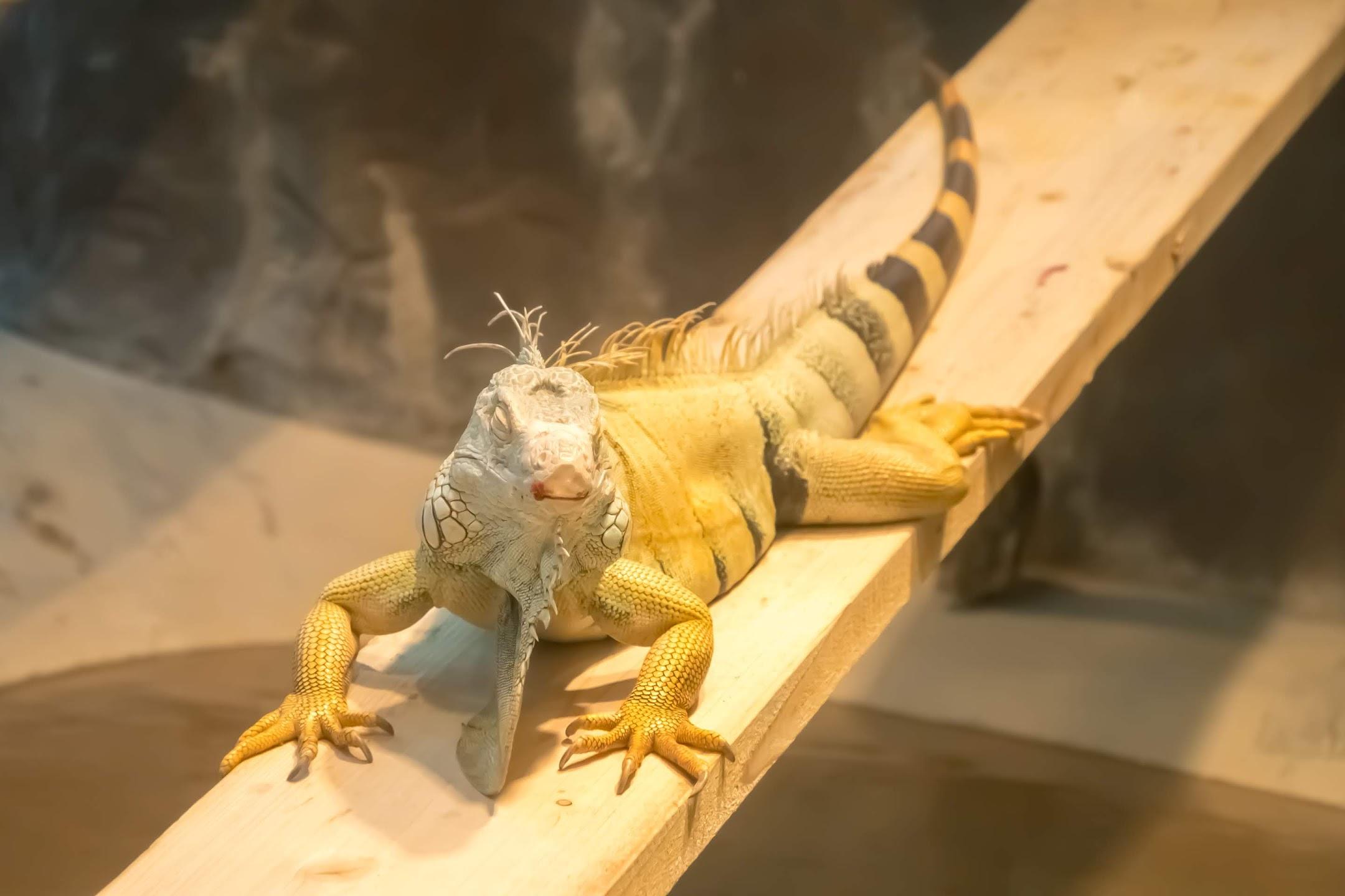 Kobe Oji Zoo iguana