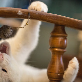 by Ben Porway - Animals - Cats Playing ( hairy, cat, pet, fierce, play, feline, animal )