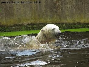Photo: Gutgelaunter Knut beim Planschen :-)