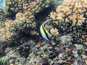 Photo: Zanclus cornutus (Moorish idol), Naigani Island, Fiji