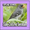 Slate-Coloured Seedeater Bird Sounds APK