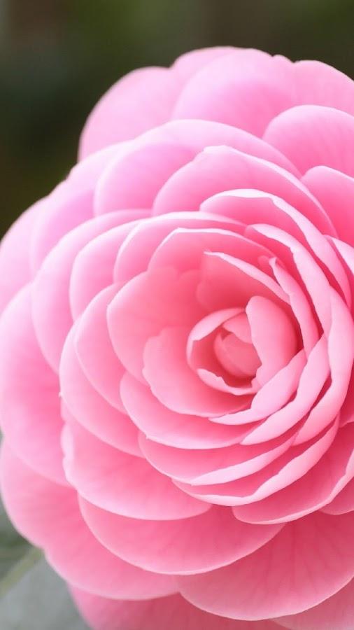 خلفيات اندرويد زهرة الكاميليا