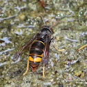 Asian predatory wasp