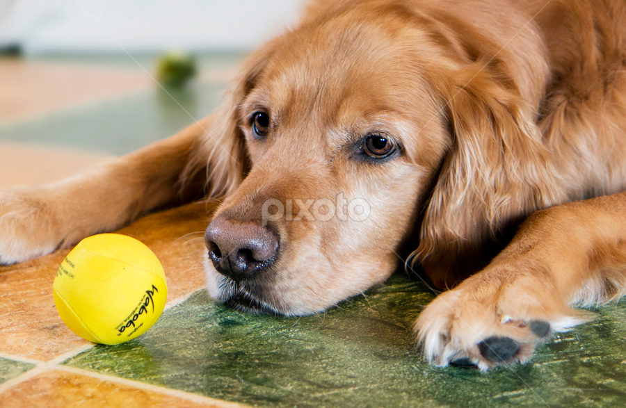 by Brook Kornegay - Animals - Dogs Playing ( canine, pet, dog, portrait, golden retriever )