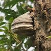 Horsehoof Fungus