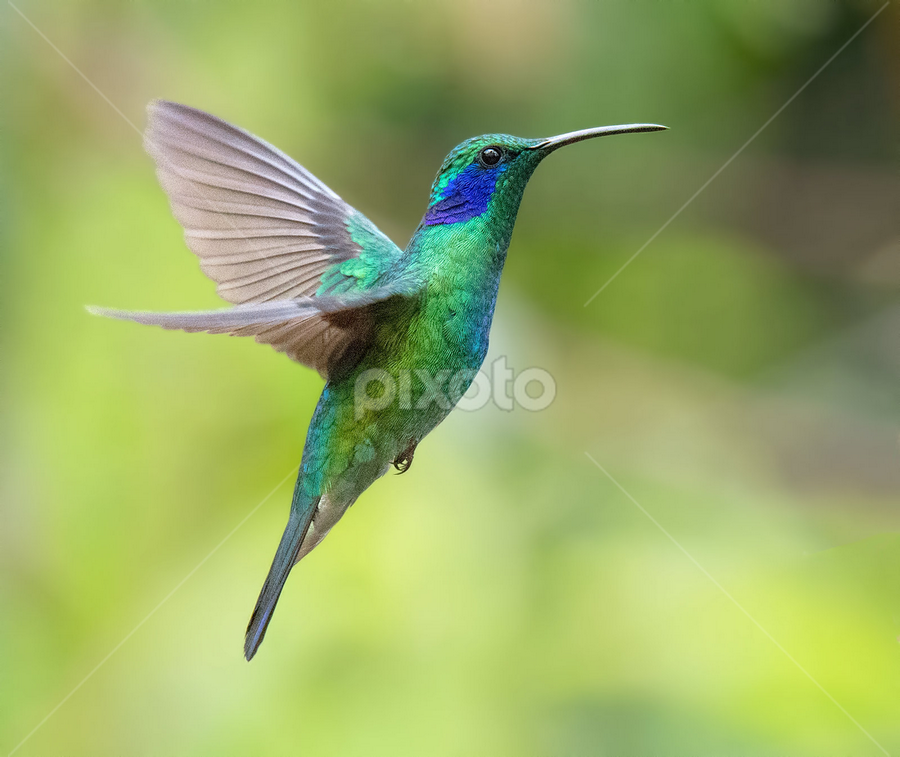 Hummer in Flight by Phyllis Plotkin - Animals Birds ( bird, wild, flight, hummingbird )