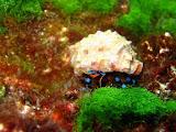 Photo: Bernard l'Ermite à pattes bleues aux Mergui