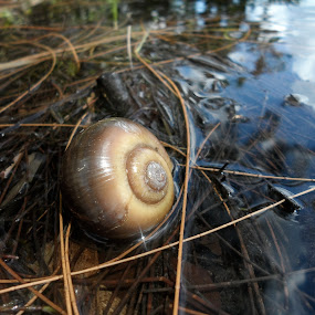Papa Snail by Teresa Beteta - Nature Up Close Other Natural Objects ( water, nature, lake, snail )