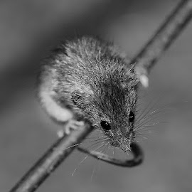 Field mouse by Gérard CHATENET - Black & White Animals