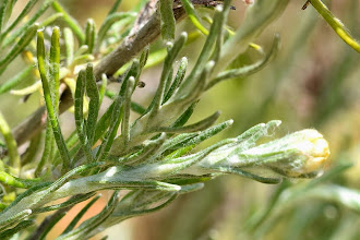 Photo: Helichrysum stoechas