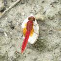 Ruddy Meadow Skimmer Dragonfly