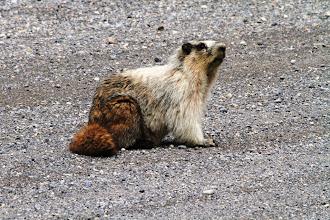 Photo: Bow Valley Wildland PP - Murmeltier