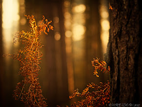 Photo: The Beauty In Death  Good morning Googlers.  Forests are my home, I love them no matter what the season is but when we are on the cusp of winter from autumn and the ferns are dying off I think its in all its glory. They leave behind a legacy of such rich colour but so few people wander in deep to look at the delicate hues they cast.