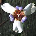 Iris caminante / Walking iris