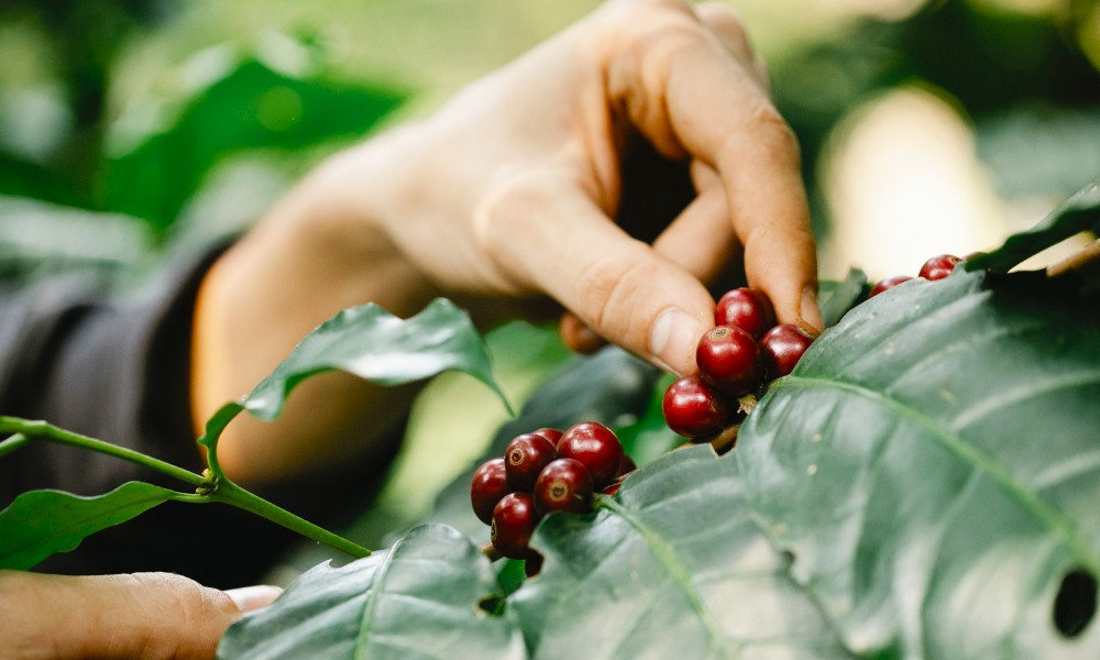man picking coffee cherries from a tree
