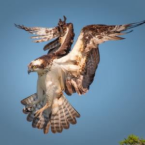 Landing-Osprey.jpg