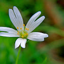 Addersmeat,Greater stitchwort