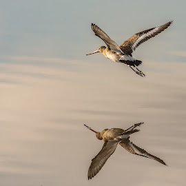 Black Tailed Godwit reflection by Barry Smith - Animals Birds ( reflection, nature, animals, birds, wild )