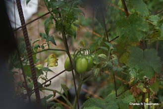 Photo: Prolific Tomatoes for the first time in 3 years