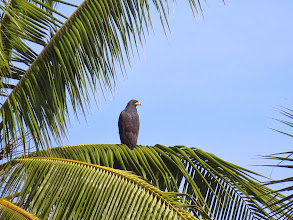 Photo: mangrove black hawk
