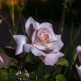 Natural Beauty by Muzo Gul - Nature Up Close Flowers - 2011-2013 ( nature, roses, gardens, pink, flowers )