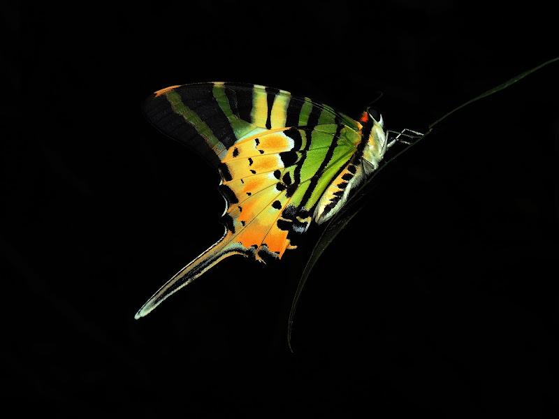 gradazioni di giallo su una farfalla di mago