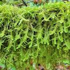 Douglas' neckera moss