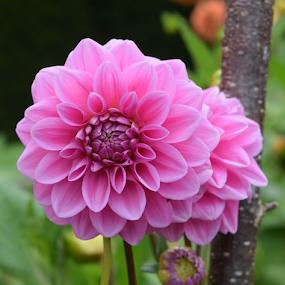 Pink harmony by ADW Photography - Flowers Flower Gardens ( #pink #bloom, #botanical #flowers #dahlia #nationaltrust #dainty #gardens )