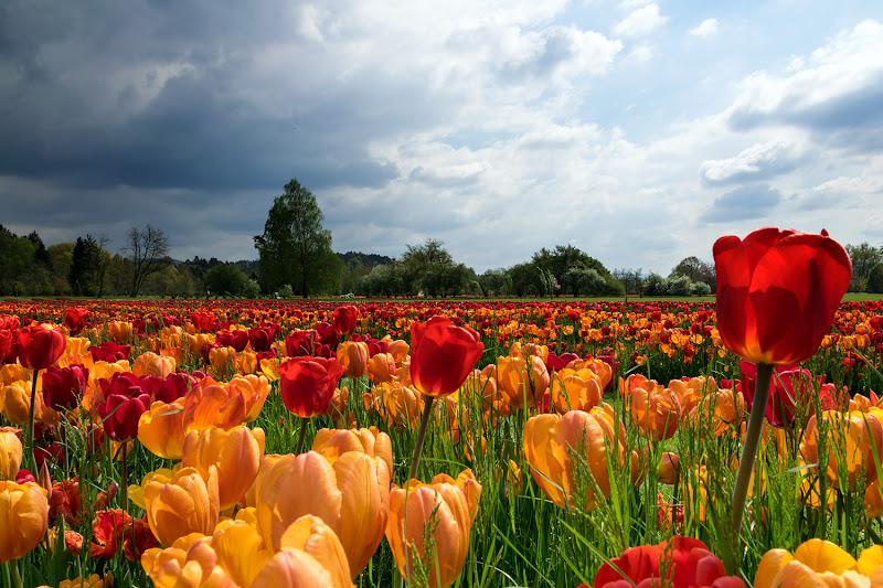 Tempo di tulipani di Nevio Saule