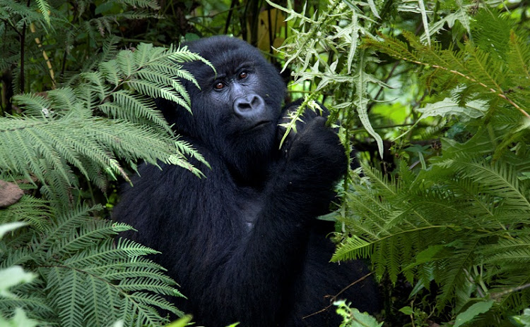 IN DANGER: The rare and endangered mountain gorillas of the Virunga National Park are threatened again by plans to search for oil, drawing global protests. Picture: ALEJANDRO PALACIO
