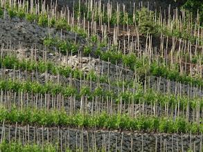 Photo: de superbes vignes