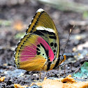 Common Pink Forester