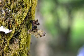 Photo: Pseudocyphellaria crocata