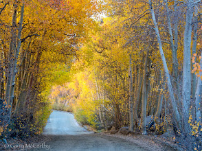 Photo: Another one for FallFriday: A tunnel of aspens near North Lake, above Bishop, California.  #fallfriday