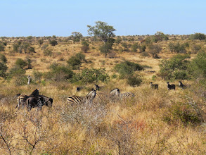 Photo: zebra and wildebeast