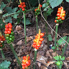 lords and ladies or cuckoopint