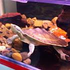 Macquarie short-necked turtle
