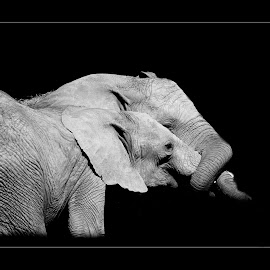 Trunk love in mono by Fiona Etkin - Black & White Animals ( elephants, animals, pachyderms, nature, black and white, affectionate, loving )