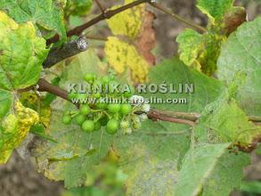 Photo: Mączniak rzekomy - widoczny nalot na jagodach