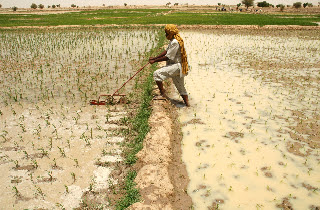 Photo: Timbuktu, Mali, West Africa. July 2008. A farmer weeding his field using a cono-weeder. [Photo by Erika Styger]