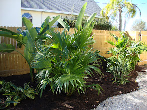 Photo: Variagated Ginger, White Bird of Paradise, Bird of Paradise and Chinese Fan Palms
