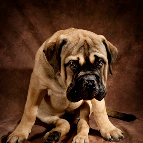 Cammy the bull mastif by Bill  Brokaw - Animals - Dogs Portraits